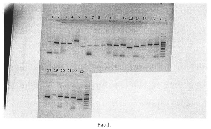 Синтетические олигонуклеотиды-праймеры, используемые для получения нуклеотидных последовательностей генов рв2, рв1, ра, np, mp, ns низкопатогенных вирусов гриппа птиц.