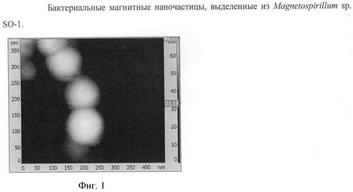 Способ получения полифункциональных магнитных наночастиц на основе магнетосом бактериального происхождения