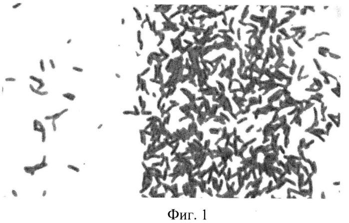 Штамм gluconacetobacter sucrofermentans -продуцент бактериальной целлюлозы