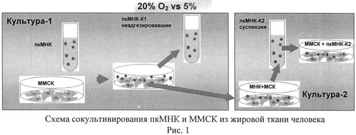 Способ экспансии мононуклеарных клеток пуповинной крови (пкмнк) ex vivo в присутствии мультипотентных стромальных мезенхимальных клеток (ммск)