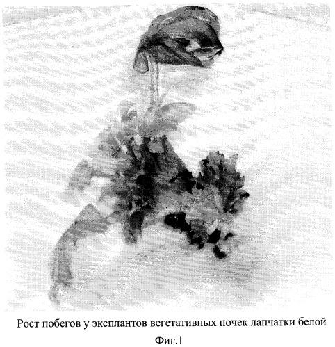 Способ получения лапчатки белой (potentilla alba)