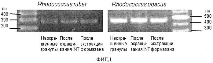 Способ видовой дифференциации жизнеспособных родококков, иммобилизованных в гелевом носителе