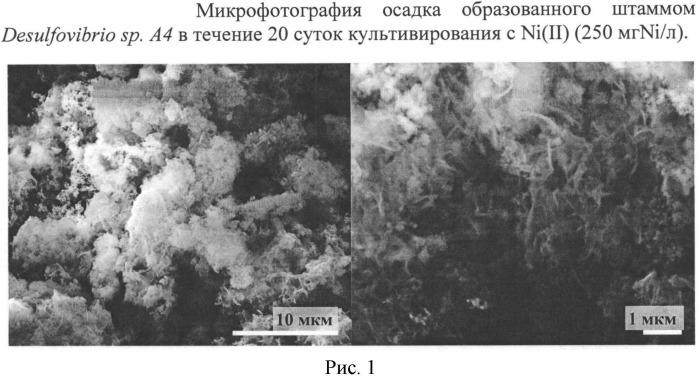Способ получения миллерита с использованием сульфатредуцирующих бактерий