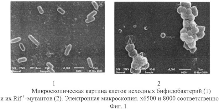 Способ оценки выживаемости бифидо- и лактобактерий в желудочно-кишечном тракте экспериментальных животных