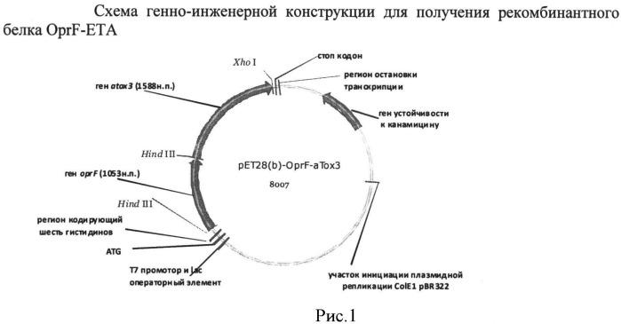 Рекомбинантная плазмидная днк ppa-oprf-eta, кодирующая синтез рекомбинантного белка oprf-eta pseudomonas aeruginosa, штамм escherichia coli pa-oprf-eta - продуцент рекомбинантного белка oprf-eta pseudomonas aeruginosa и способ получения рекомбинантного белка oprf-eta pseudomonas aeruginosa