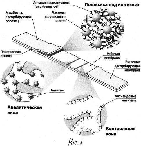 Метод получения межмолекулярных конъюгатов для иммунохроматографического опредеелния специфических антител