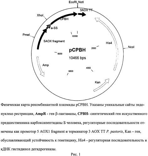 Рекомбинантная плазмидная днк pcpbh для биосинтеза полипептида со свойствами карбоксипептидазы б человека, и рекомбинантный штамм метилотрофных дрожжей pichia pastoris - продуцент полипептида со свойствами карбоксипептидазы б человека