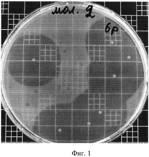Штамм enterоcoccus mundtii, продуцирующий субстанцию пептидной природы с антилистериозной активностью