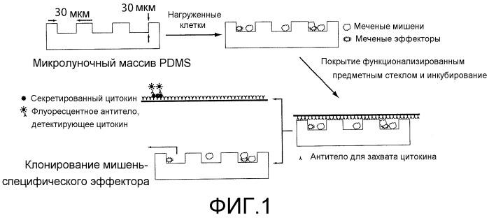 Композиции и способы, используемые для оценки цитотоксичности отдельных клеток