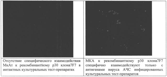 Способ получения моноклональных антител к белку р30 вируса африканской чумы свиней с использованием рекомбинантных конструкций