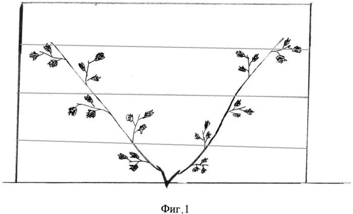 Лианоподобный способ формирования винограда