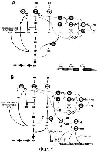 Мутантный микроорганизм, продуцирующий янтарную кислоту, способ его получения и способ получения янтарной кислоты (варианты).