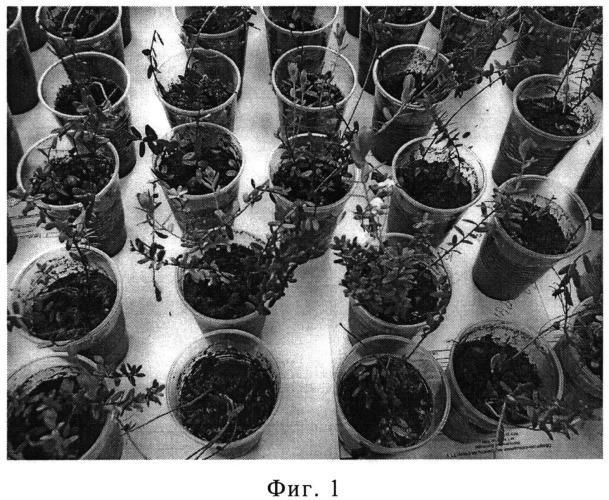 Способ укоренения клюквы болотной на минеральных почвах