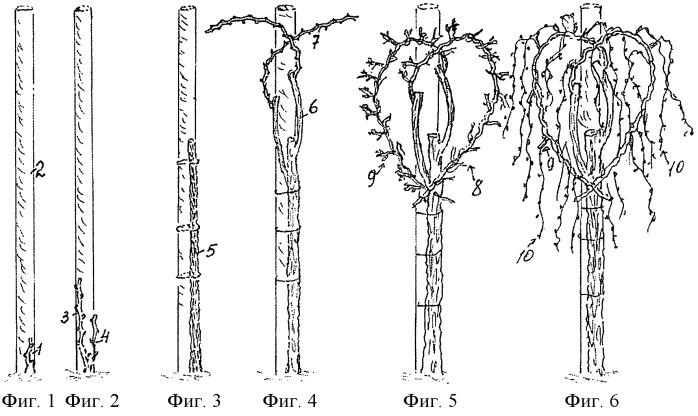 Способ ведения и формирования виноградных кустов