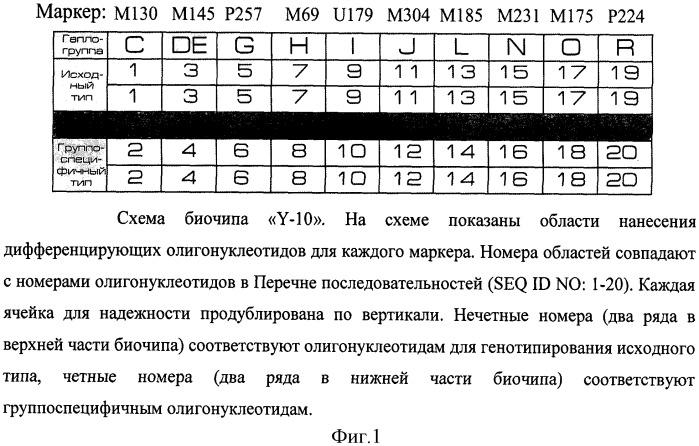 Набор дифференцирующих нуклеотидов и биочип для применения в способе генотипирования маркеров гаплогрупп y-хромосомы человека: m130 (c), м145 (de)