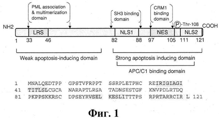 Рекомбинантная плазмидная днк pcdna4-apo-2nls2, несущая синтетический ген белка апоптина, индуцирующего p53 независимый апоптоз опухолевых клеток