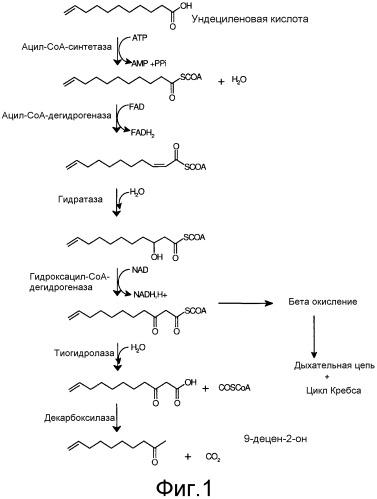 Способ получения натурального 9-децен-2-она биоконверсией ундециленовой кислоты при помощи плесени и применение в парфюмерии в качестве пищевого ароматизатора