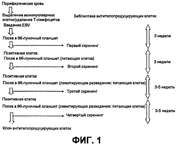 Моноклональное антитело, способное связываться со специфическим прерывистым эпитопом, расположенным в области ad1 гликопротеина gb цитомегаловируса человека, и его антигенсвязывающий фрагмент