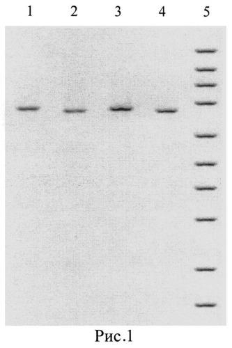 Олигонуклеотидные праймеры burk0090s/burk0090as для оценки адаптационной изменчивости генома патогенных буркхольдерий