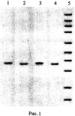 Олигонуклеотидные праймеры burk1526s/burk1526as для оценки адаптационной изменчивости генома патогенных буркхольдерий