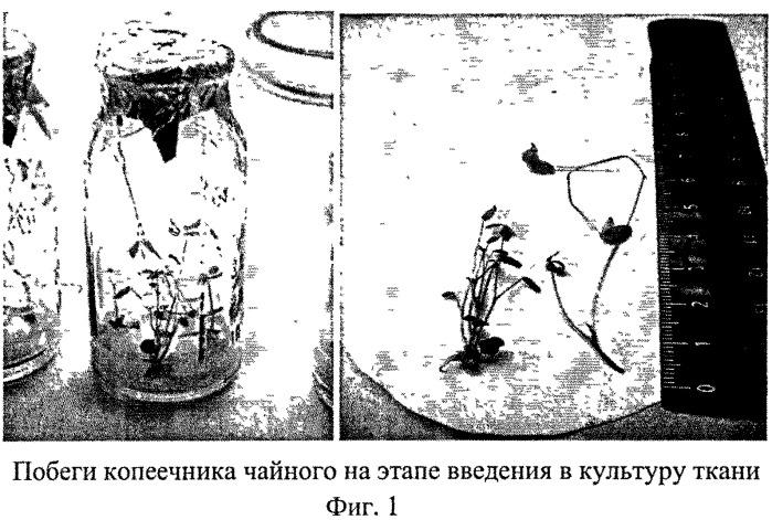Способ размножения копеечника чайного (hedysarum theinum krasnob.)