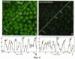 Способ выявления белков в разных типах клеток млекопитающих и человека с помощью флуоресцеин-5-изотиоцианата на микроскопическом уровне