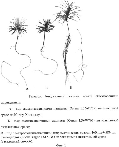 Способ выращивания сеянцев сосны обыкновенной (pinus sylvesrtis l.)