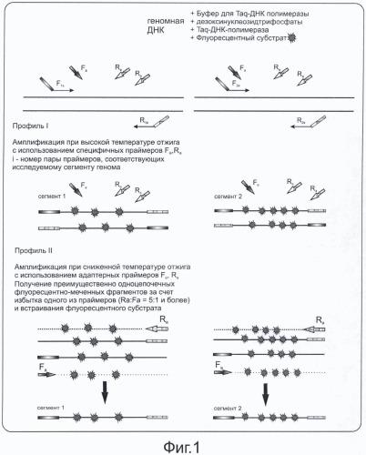 Способ одновременной амплификации и флуоресцентного маркирования нескольких сегментов генома микобактерий туберкулезного комплекса