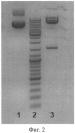 Оптимизированный ген моноклонального антитела инфликсимаб (варианты), рекомбинантная клеточная линия-продуцент этого антитела и способ его биосинтеза