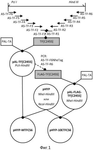 Экспрессионная плазмида, содержащая фрагмент днк, кодирующий мутеин [c245s] тканевого фактора человека с неотделяемым с-концевым тагом, бактерия e. coli - продуцент белка-предшественника мутеина [c245s] тканевого фактора человека с неотделяемым с-концевым тагом, способ получения рекомбинантного мутеина [c245s] тканевого фактора человека с неотделяемым с-концевым тагом, рекомбинантный мутеин [c245s] тканевого фактора человека с неотделяемым с-концевым тагом