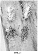 Новая флуоресцентная псевдомонада вида pseudomonas azotoformans для улучшения всхожести и роста растений