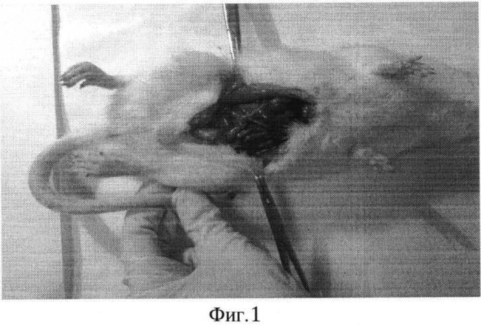 Способ лечения инфекционного перитонита в эксперименте