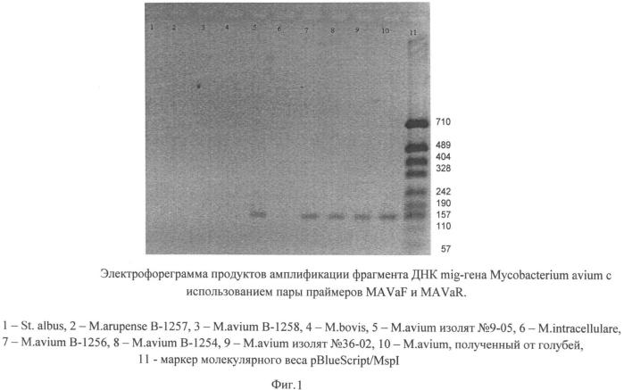 Олигонуклеотидные праймеры и способ выявления днк mycobacterium avium методом полимеразной цепной реакции