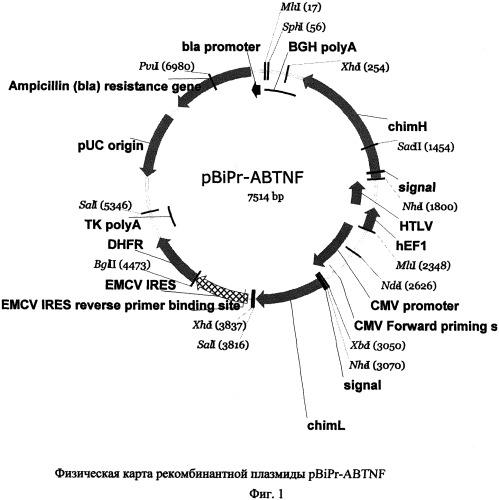 Рекомбинантная плазмидная днк, кодирующая химерное антитело против фактора некроза опухоли-альфа человека, линия экуариотических клеток-продуцент химерного антитела и способ получения химерного антитела