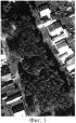 Способ экологического измерения березняка по флуктуирующей асимметрии листьев