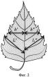Способ сравнительной индикации по флуктуирующей асимметрии листьев березы
