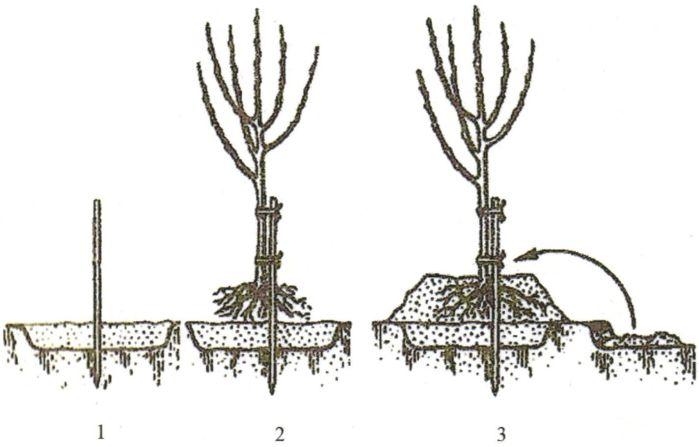 Способ посадки плодовых деревьев на клумбу