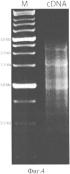 Способ получения рекомбинантного ингибитора сериновых протеиназ камчатского краба