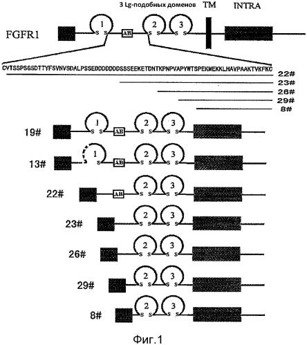 Fgf-r-fc слитый белок и его использование