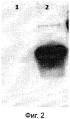 Рекомбинантная псевдоаденовирусная частица, продуцирующая модифицированные наноантитела, узнающие микоплазму m.hominis, фармацевтическая композиция на ее основе и способ ее использования для терапии микоплазмозов