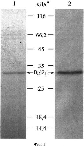 Способ получения белка bg12p, являющегося гомологом антигена-маркера возбудителей микозов человека и животных