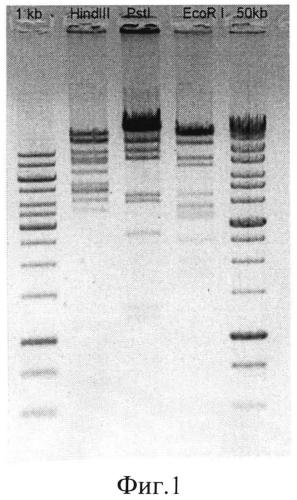 Штамм бактериофага citrobacter freundii cf17, способный лизировать патогенные штаммы citrobacter freundii