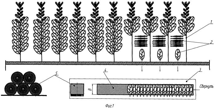 Способ ручной уборки и подготовки листьев табака к сушке