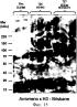 Химерные вирусоподобные частицы, содержащие гемагглютинин, сходные с частицами вируса гриппа