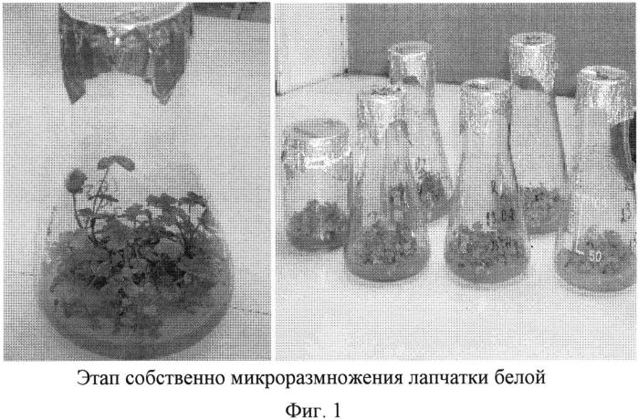 Способ получения лекарственного растительного сырья лапчатки белой (potentilla alba l.) в условиях гидропоники