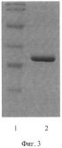 Рекомбинантная днк pa4, рекомбинантная днк pqe 30-pa4, обеспечивающие получение полипептида a4, штамм esherichia coli m 15-a4, трансформированный рекомбинантной плазмидной днк pqe 30-pa4 и экспрессирующий рекомбинантный полипептид a4, рекомбинантный полипептид a4, обладающий способностью селективно связывать чса, аффинные сорбенты (варианты) и способы удаления чса и igg из сыворотки крови (варианты)
