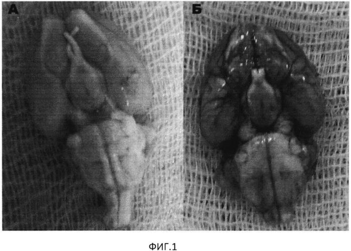 Способ моделирования церебрального сосудистого спазма при нетравматическом субарахноидальном кровоизлиянии in vivo
