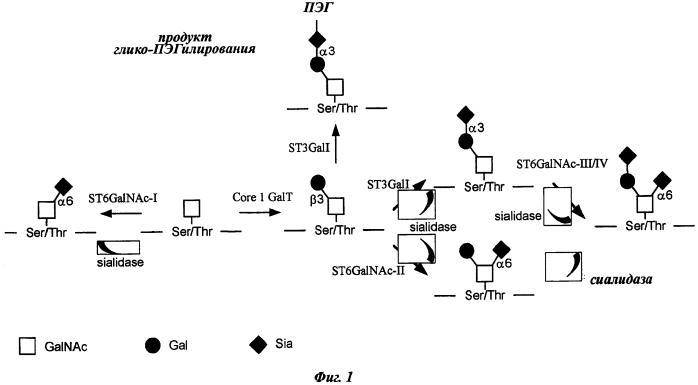 Конъюгированные молекулы фактора viii