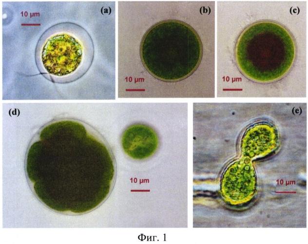 Штамм микроводоросли haematococcus pluvialis - продуцент натурального астаксантина