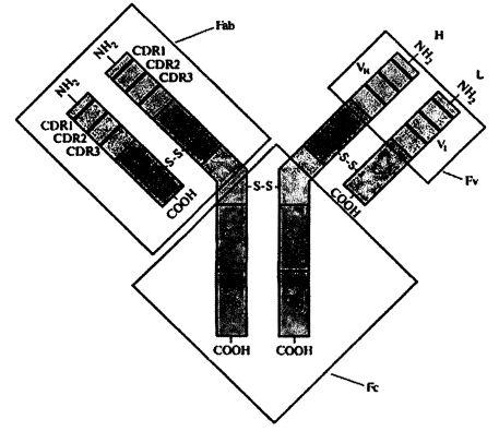 Анти-il-17-антитела, способ их получения и способ применения